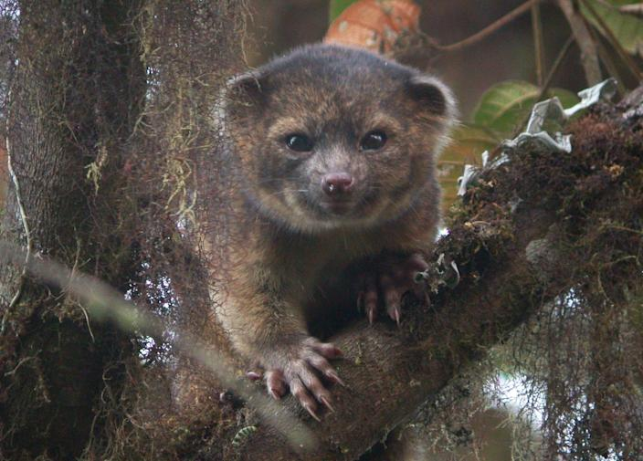 This undated photo provided by the Smithsonian Institution shows an olinguito. The Smithsonian announced Thursday, Aug. 15, 2013 that they have discovered that the mammal, which they had previously mistaken for an olingo, is actually a distinct species. The olinguito belongs to the grouping of large creatures that include dogs, cats and bears. The raccoon-sized critters leap through the trees of the cloud forests of Ecuador and Colombia at night, according to a Smithsonian researcher who has spent the past decade tracking them. (AP Photo/Smithsonian Institution, Mark Gurney)