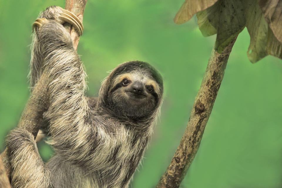 """<p>Sloths are having a *moment* right now. Their adorable faces can be found on t-shirts, mugs, stickers, and in commercials. They're taking over kid toy aisles, are now a popular baby shower theme, and, of course, can turn <a href=""""https://www.youtube.com/watch?v=F6HMnZojtgk"""" rel=""""nofollow noopener"""" target=""""_blank"""" data-ylk=""""slk:Kristen Bell into a puddle of happy tears"""" class=""""link rapid-noclick-resp"""">Kristen Bell into a puddle of happy tears</a>. But just when you thought you couldn't love these adorable animals more than you already do, you're presented with the following <a href=""""https://www.womansday.com/life/pet-care/news/a51375/why-this-precious-baby-sloth-thinks-a-teddy-bear-is-his-mother-will-make-you-sniffle/"""" rel=""""nofollow noopener"""" target=""""_blank"""" data-ylk=""""slk:fun facts about sloths"""" class=""""link rapid-noclick-resp"""">fun facts about sloths</a> and, well, all bets are off. </p><p> Whether it's learning that there are actually two — count 'em, two — types of sloths, to how sloth moms give birth, to the impressive way they can turn their heads in a near-360 degree direction, these slow-moving tree dwellers are more than just a fad or craze. They might be nature's slowest animal, but the obsession with sloths is here to stay. In fact, like sloths themselves, it's not going anywhere anytime soon. <br></p>"""