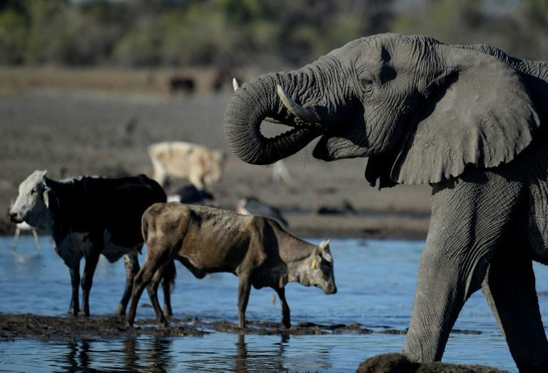 """In an update of its """"Red List"""" of threatened species, the International Union for Conservation of Nature highlighted the broad deterioration of the situation for elephants in most of Africa"""
