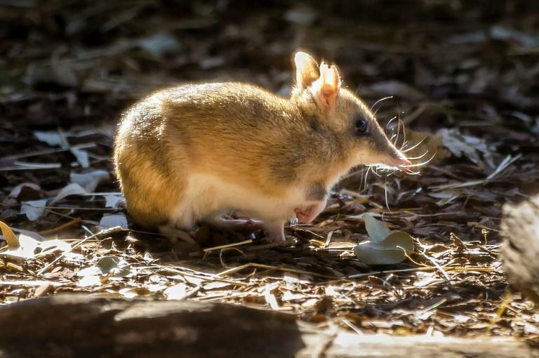 The Eastern Barred Bandicoot that once roamed the Australian mainland has been brought back from the brink of extinction (AFP/Handout)