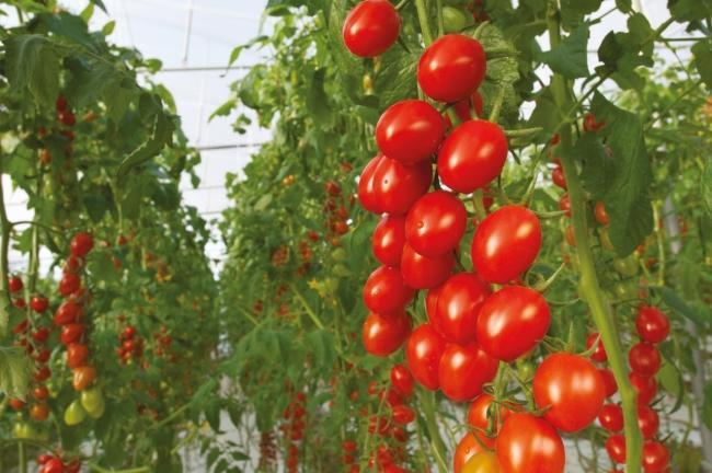 Bayer to launch its organic vegetable seed portfolio in 2022 with a focus on key crops for greenhouse and greenhouse markets
