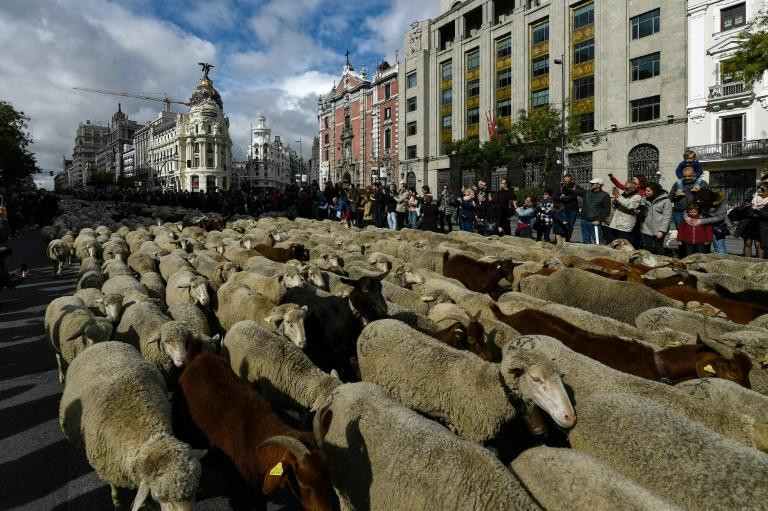 Flocking to Madrid: Around 2,000 sheep, and some goats, were led down the streets of the Spanish capital (AFP Photo/OSCAR DEL POZO)