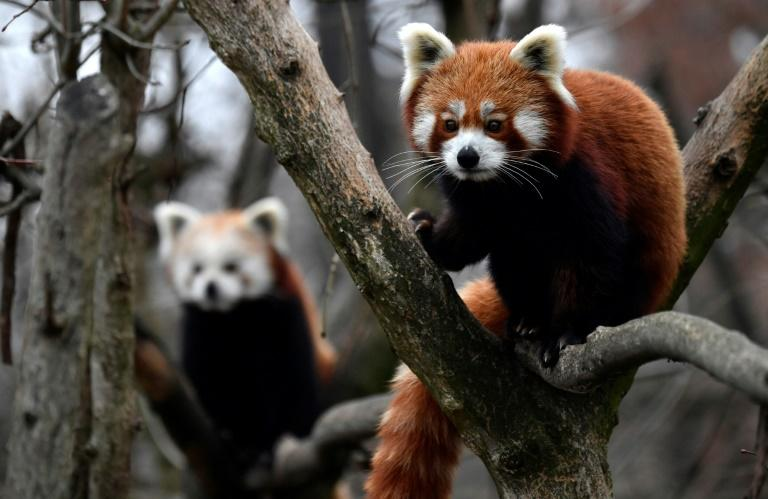 Red pandas, seen at this zoo in Berlin, spend most of their time in trees and are not considered dangerous