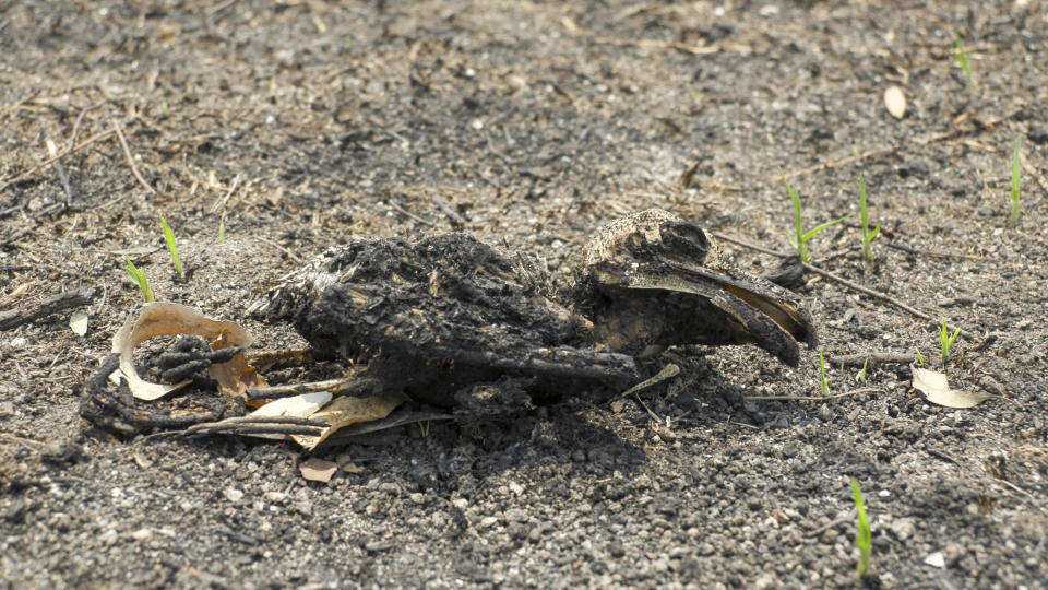 A dead tawny frogmouth is charred by the fires. Some regrowth can be seen growing up from the soil.