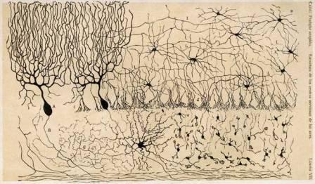 Fig.2: Neurons have diverse structures. (Source: Ramon y Cajal, ca. 1905)