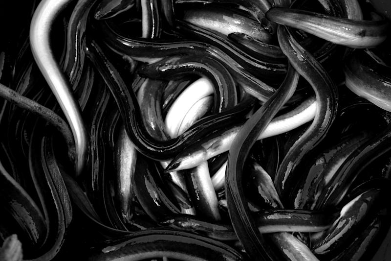 Live eels caught in the Messolongi lagoon in Greece: Reuters