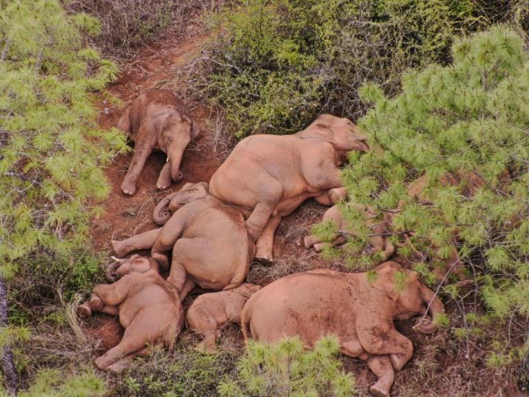 China is one of the few places in the world where the population of the endangered Asian elephant is increasing, due to strict anti-poaching laws and conservation efforts