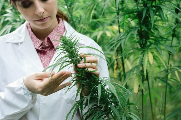 Female scientist looking at a marijuana plant