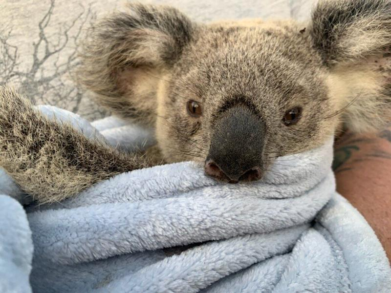 Maryanne the koala is one the road to recovery after suffering severe burns on her feet shortly before Christmas. (Photo: WWF Australia)