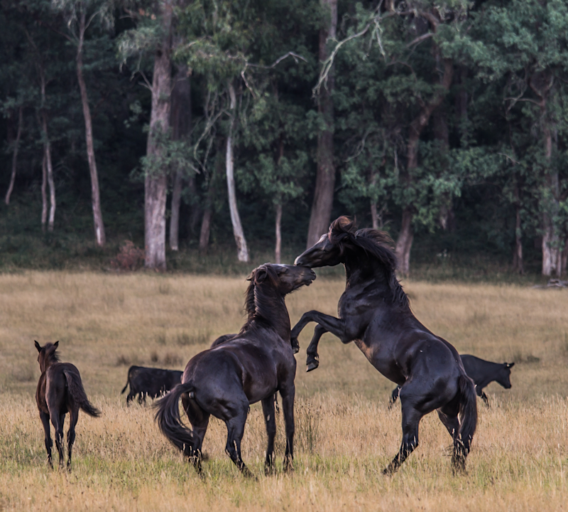 Brumbies play in Victoria's alpine region. There is a foal to the side of the two adult horses.