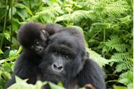<p>Rwanda has made a huge effort to save the critically endangered wild mountain gorilla, who faced extinction after decades of poaching and habitat loss. Their population is slowly on the rise as a result of Rwanda's move to use sustainable tourism as a vehicle to implement long-term conservational change. Its not just the gorillas who have benefitted - now with poaching at all time low, lions and eastern black rhinos have been reintroduced to its safari land, turning the nation into a Big Five country once again.</p>