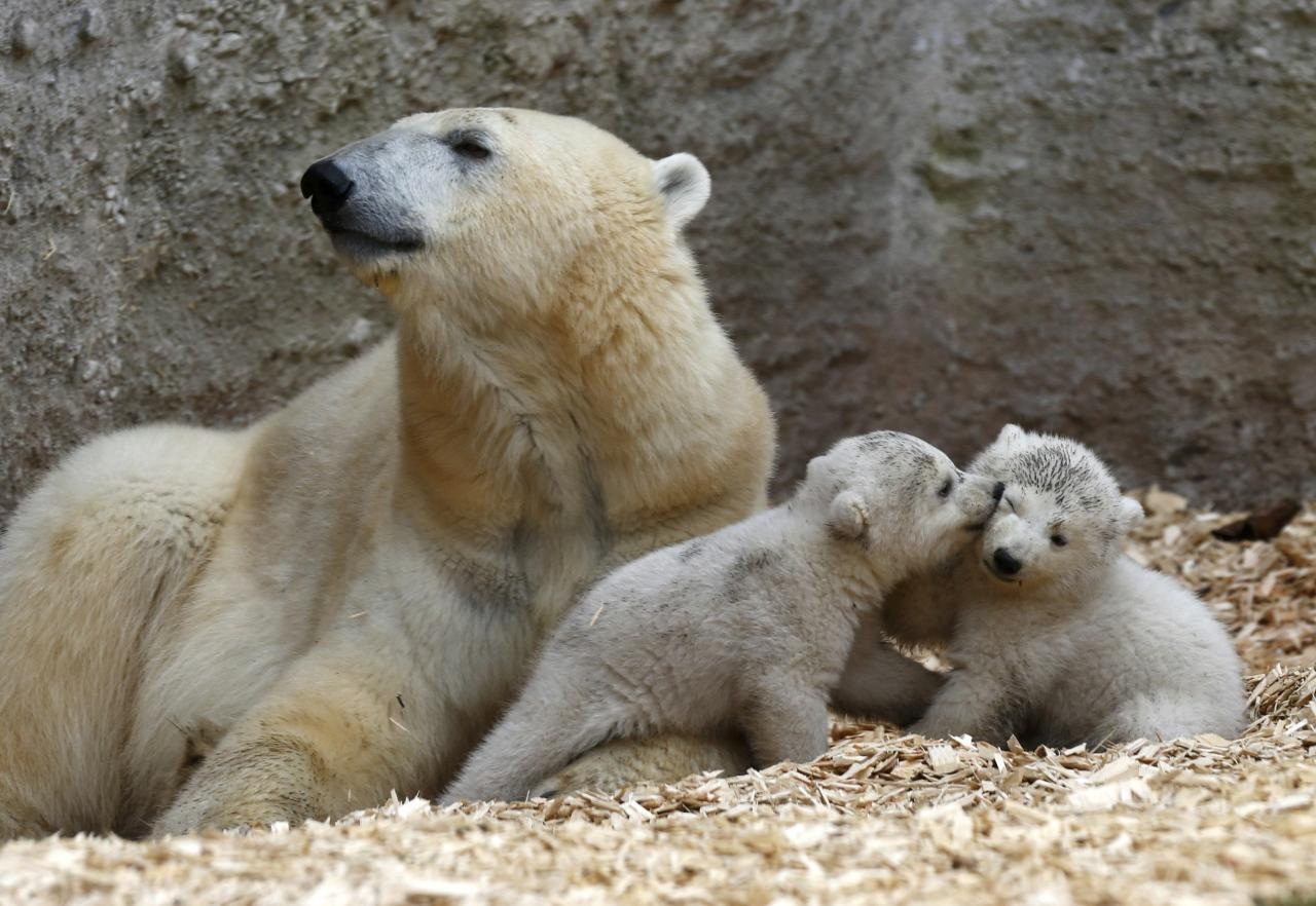 Twin polar bear cubs play next their mother Giovanna outside in their enclosure at Tierpark Hellabrunn in Munich
