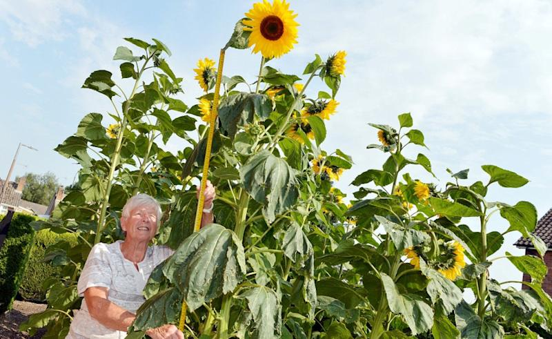 """Pat Gore with her nine foot sunflower. See SWNS story SWLEsunflower. A widower has spoken of her joy after sunflower seeds she planted in her late husband's vegetable patch """"grew and grew"""" - to stand NINE FEET tall. Pat Gore, 76, took up gardening as a form of therapy last year after losing her beloved husband of 52 years John to lung disease. Unable to maintain his vegetable patch on her own, earlier this year Pat decided to plant sunflowers instead - in memory of her husband. Pat watched on in amazement as the flowers got bigger and bigger, to the point now where they stand nine feet tall and measure 12 inches across."""
