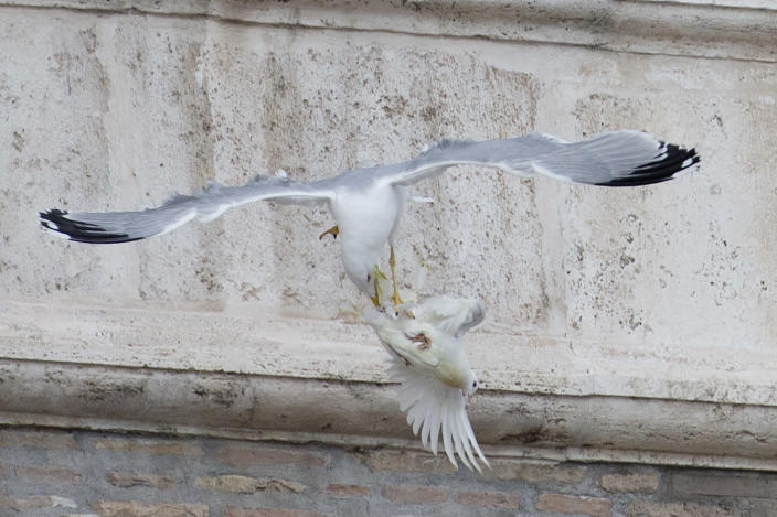 A dove which was freed by children flanked by Pope Francis during the Angelus prayer, is attacked by a seagull in St. Peter's Square, at the Vatican, Sunday, Jan. 26, 2014. Symbols of peace have come under attack at the Vatican. Two white doves were sent fluttering into the air as a peace gesture by Italian children flanking Pope Francis Sunday at an open studio window of the Apostolic Palace, as tens of thousands of people watched in St. Peter's Square below. After the pope and the two children left the windows, a seagull and a big black crow quickly swept down, attacking the doves, including one which had briefly perched on a windowsill on a lower floor. One dove lost some feathers as it broke free of the gull, while the crow pecked repeatedly at the other dove. The doves' fate was not immediately known. While speaking at the window, Francis appealed for peace to prevail in Ukraine. (AP Photo/Gregorio Borgia)