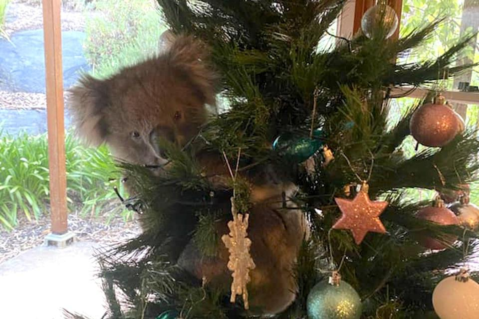 <p>The koala, named Daphne, was discovered in the McCormick family's Christmas tree</p> (1300Koalaz/Facebook)