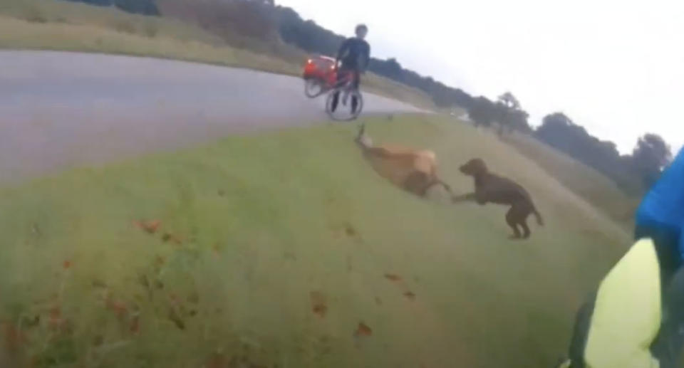 A dog is filmed attack a deer in Richmond Park, England.