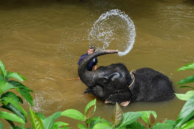 Mahouts care for a 26-strong group of endangered Asian elephants at the sanctuary (AFP Photo/Manan VATSYAYANA)