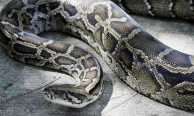 Python Hunting Contest In Florida Everglades