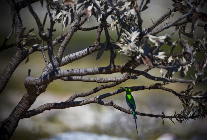 <p>A Sugarbird sits on the branches of a burned Wild Fynbos bush in spring in the World Heritage Site Table Mountain National Park in Cape Town, South Africa, Sept. 30, 2016. Fynbos is Dutch for fine-leaved plants. Fynbos is a totally unique vegetation that makes up 80 per cent of the Cape Floral Kingdom and found nowhere else on earth. Table Mountain alone hosts as many plant species as the entire United Kingdom with 1 500 species. The Western Cape is more botanically diverse than the richest tropical rainforest in South America according to World Wildlife Fund (WWF). (Photo: NIC BOTHMA/EPA)</p>