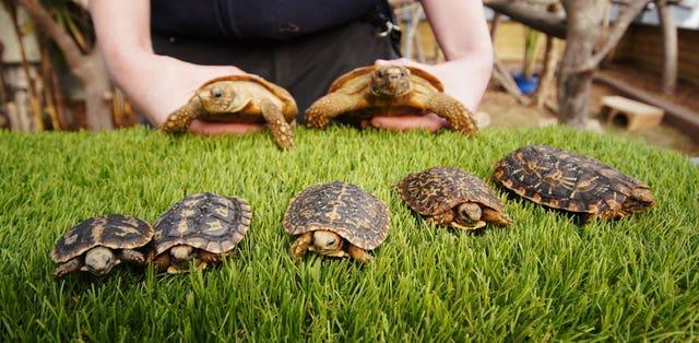 A pancake tortoise called Syrup (far right) who celebrates his first birthday today, Shrove Tuesday