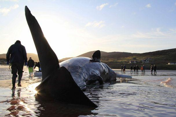 PHOTO: A sperm whale that died on a beach on the Isle of Harris in Scotland on Nov. 28, 2019, was found to have approximately 220 pounds of litter and marine debris in its stomach, according to the Scottish Marine Animal Strandings Scheme. (Courtesy SMASS)