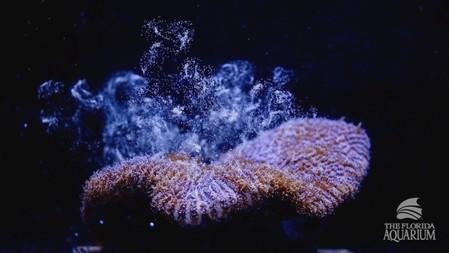Eggs rise in the water column from a Pillar coral (Dendrogyra cylindricus) as it successfully spawns in an aquarium for the first time at a Florida Aquarium facility in Apollo Beach, Florida