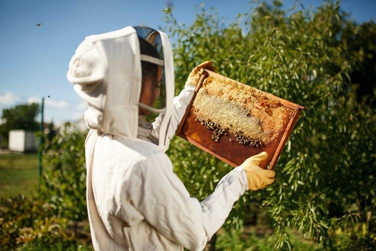 A beekeeper handles a frame of honeybees from a hive.