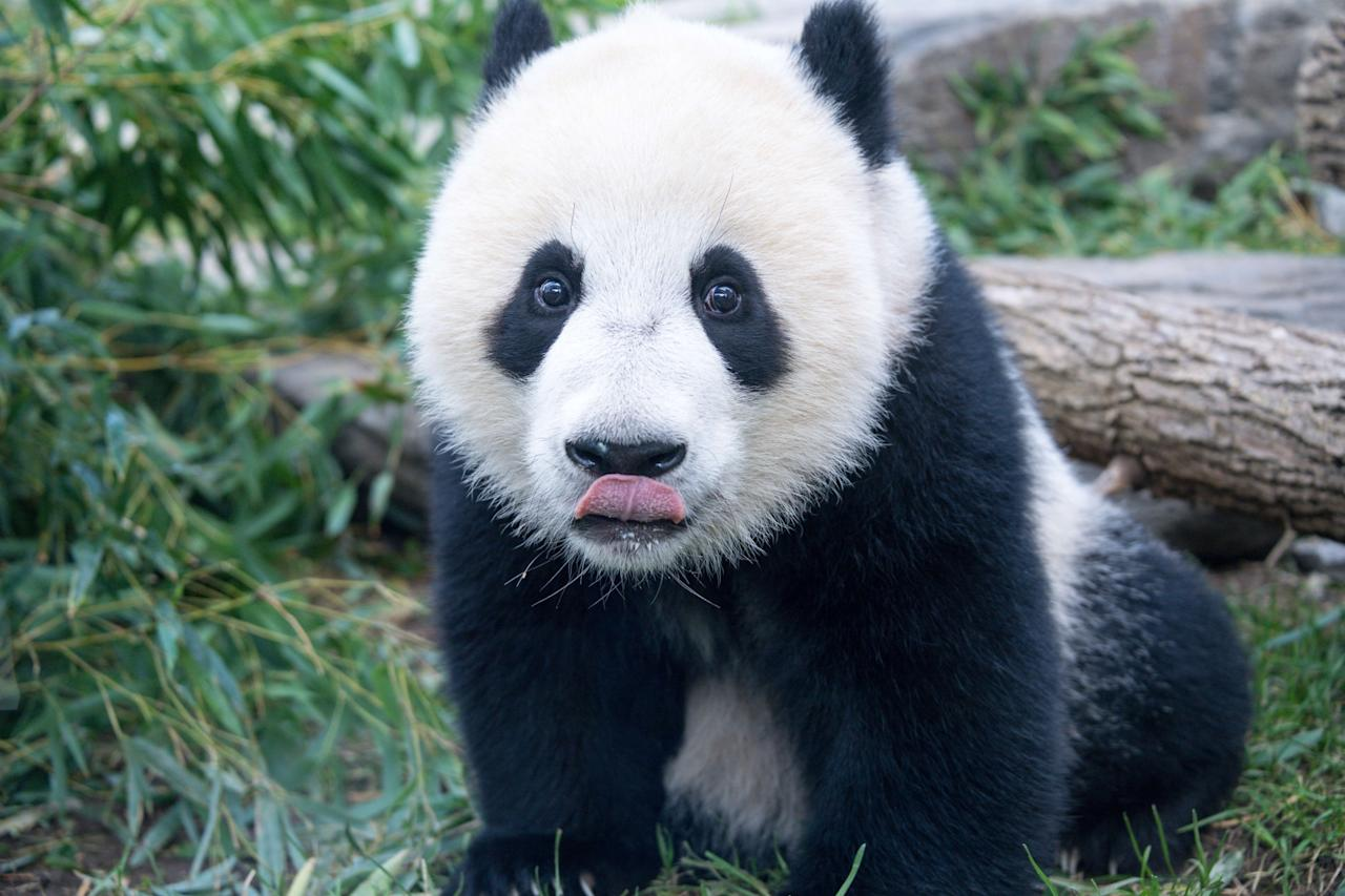 <p>The International Union for Conservation of Nature announced that giant pandas are no longer 'endangered' and have been downgraded to 'vulnerable' on the global list of species at risk of extinction. Photo from Getty Images </p>