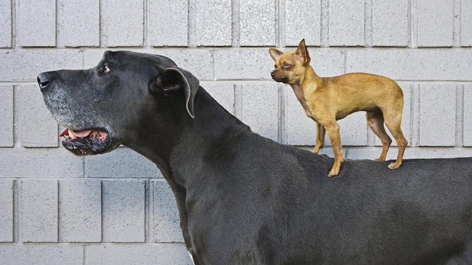 Chihuahua standing on a Great Dane
