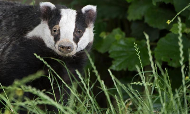 The government has sanctioned the killing of more than 60,000 badgers this year.
