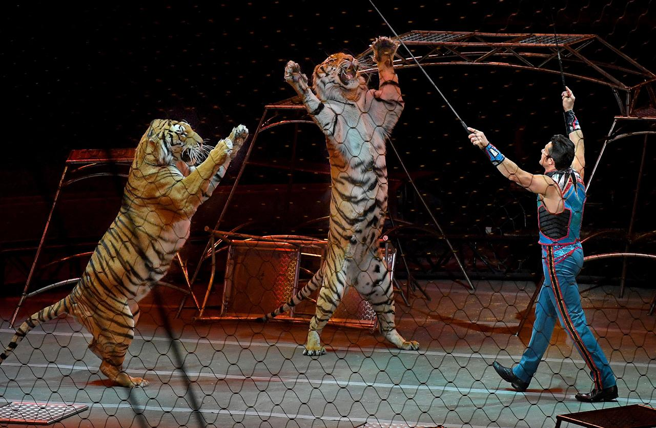 <p>Alexander Lacey and his big cat show was a crowd favorite today. -After a 146 year run, the Ringling Bros. and Barnum & Bailey Circus will end with an evening performance at the Nassau Veterans Memorial Coliseum on Sunday, May 21st. (Michael S. Williamson/The Washington Post via Getty Images) </p>