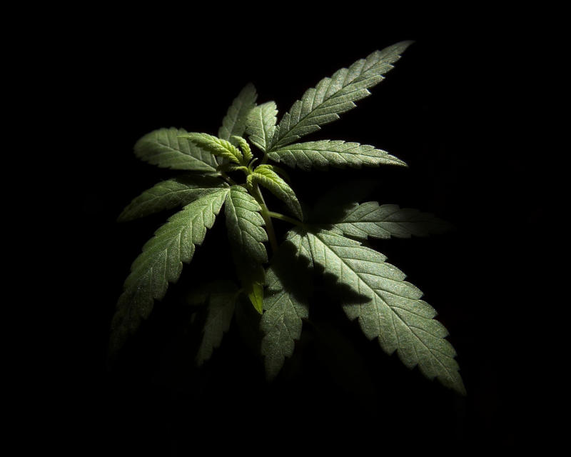 Close up image of a marijuana plant growing in a darkened space