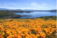 <p><strong>Diamond Valley Lake</strong> near Hemet, CA, is famous for the fields of golden poppies that bloom along it's shore. </p>