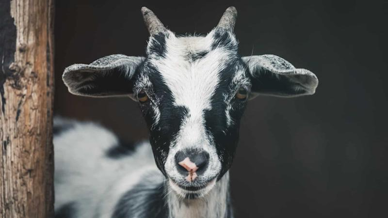 Black and white goat in closeup