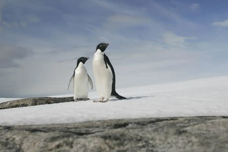 A pair of Adelie penguins are pictured at Cape Denison, Commonwealth Bay, East Antarctica, December 28, 2009.    REUTERS/Pauline Askin/File Photo