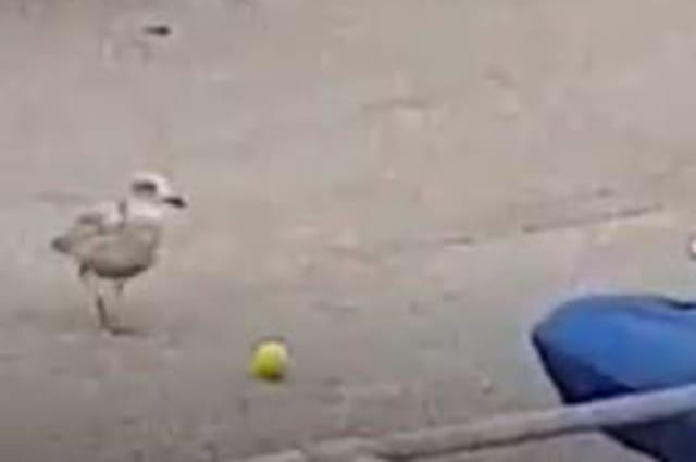 Video shows a seagull caught playing 'football' in a carpark