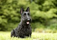 """<p>Of all the terriers, the <a href=""""https://www.dailypaws.com/dogs-puppies/dog-breeds/scottish-terrier"""" rel=""""nofollow noopener"""" target=""""_blank"""" data-ylk=""""slk:Scottish Terrier"""" class=""""link rapid-noclick-resp"""">Scottish Terrier</a> is arguably the most confident, independent, and spirited. They're small in size (less than 25 pounds) and make a great companion for both seniors and young families. </p>"""