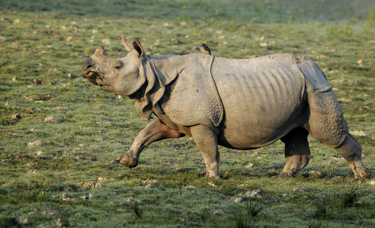 """In this Saturday, Dec. 1, 2012 photo, a rhinoceros runs inside the Kaziranga National Park, a wildlife reserve that provides refuge to more than 2,200 endangered Indian one-horned rhinoceros, in the northeastern Indian state of Assam. Even in this well protected reserve, where rangers follow shoot-to-kill orders, poachers are laying siege to """"Fortress Kaziranga,"""" attempting to sheer off the animals' horns to supply a surge in demand for purported medicine in China that's pricier than gold. A number of guards have been killed along with 108 poachers since 1985 while 507 rhino have perished by gunfire, electrocution or spiked pits set by the poachers, according to the park. (AP Photo/Anupam Nath)"""
