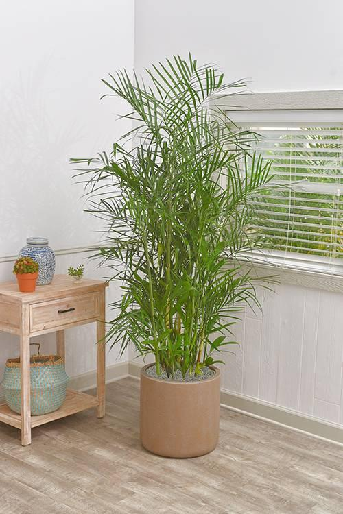 1 gallon of bamboo palm (photo credit: Etsy)