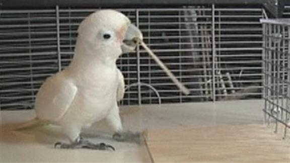 Video: Cockatoo stuns scientists by picking a lock