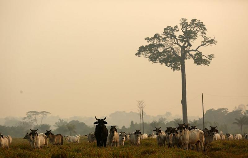 Description: Cattle are seen on a tract of Amazon jungle after a fire in Boca do Acre, Amazonas state, Brazil August 24, 2019
