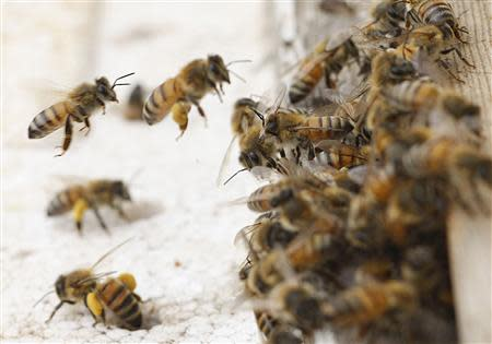 Honey bees swarm on a honeycomb at a farm in Jordan Valley in this February 8, 2010 file photo. REUTERS/Ali Jarekji/Files