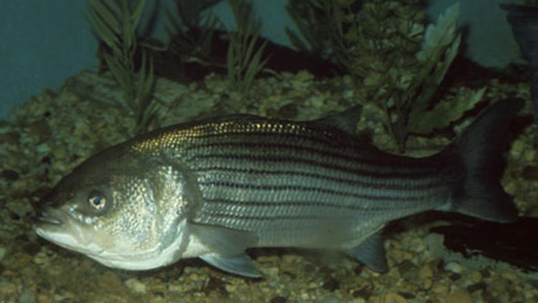 Extended striped bass season for the Maritimes brings mixed views