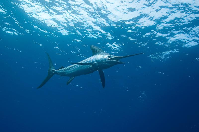 Some Australian marlin can weigh as much as a car and grow up to five metres long