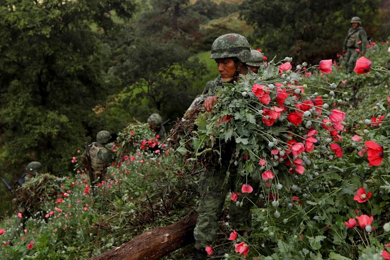 Soldiers cut opium poppies