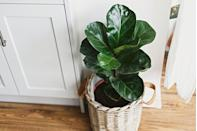 "<p>The large, leathery, glossy leaves of this lush evergreen houseplant make a real statement in a bathroom. They grow tall and are easy to care for so long as they don't get too wet. They are better for a larger bathroom that can be aired out. </p><p><a class=""link rapid-noclick-resp"" href=""https://go.redirectingat.com?id=127X1599956&url=https%3A%2F%2Fwww.crocus.co.uk%2Fplants%2F_%2Fficus-lyrata-bambino-pbr%2Fclassid.2000030498%2F&sref=https%3A%2F%2Fwww.countryliving.com%2Fuk%2Fhomes-interiors%2Finteriors%2Fg33454786%2Fbathroom-plants%2F"" rel=""nofollow noopener"" target=""_blank"" data-ylk=""slk:BUY NOW"">BUY NOW</a></p>"