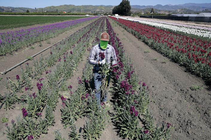 A farmworker, considered an essential worker under the current COVID-19 guidelines, covers his face as he works at a flower farm in Santa Paula, Calif. Those working in the agricultural sectors of the state's economy have been disproportionately impacted by the pandemic.