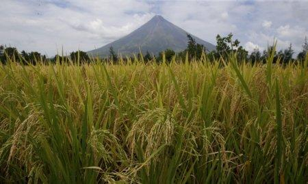 FILE PHOTO - Rice stalks ready for harvesting are pictured at a rice field overlooking Mayon volcano in Daraga, Albay in central Philippines April 3, 2016. REUTERS/Erik De Castro