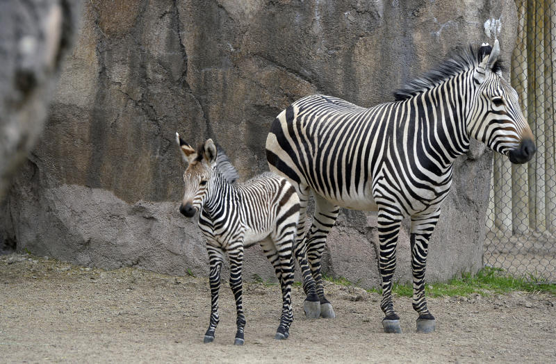 Zebra mother Zoey stands next to her foal at the Hogle Zoo, Monday, April 24, 2017, in Salt Lake City. The filly was born April 11. (Francisco Kjolseth/The Salt Lake Tribune via AP)