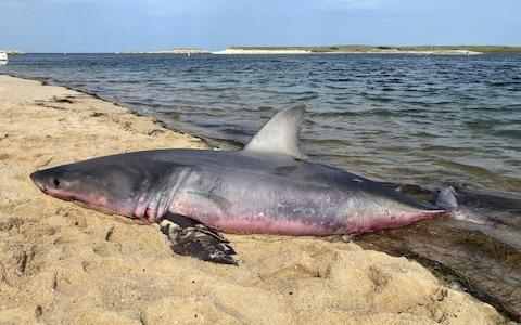 A dead great white shark on the Truro shoreline in Massachusetts, where researchers believe smaller, younger specimens are swimming closer to land increasing the risk of human encounters - Credit: Ken Johnson/Atlantic White Shark Conservancy via AP